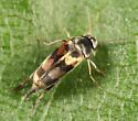Tumbling Flower Beetle - Falsomordellistena pubescens