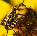 Goldenrod Soldier Beetle (Chauliognathus pensylvanicus) - Chauliognathus pensylvanicus
