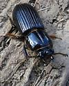 Bark-gnawing beetle sp. ? - Odontotaenius disjunctus