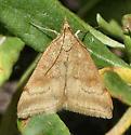 Tan moth - mabye Pyrausta fodinalis? - Pyrausta fodinalis
