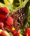 Hackberry emperor butterfly - Asterocampa celtis