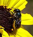 Bee on Bush Sunflower - Osmia texana - female