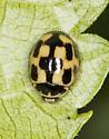 14 Spotted Beetle? Propylea quafuordecimpunctata - Propylea quatuordecimpunctata