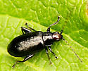Small beetle - Systena frontalis