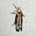 Unknown moth - Gnorimoschema