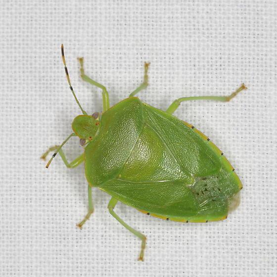 Green Stinkbug, Chinavia hilaris? - Chinavia hilaris