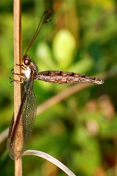 Diptera or Odonata? - Ascaloptynx appendiculata