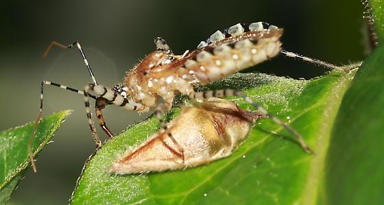 Bug - Pselliopus cinctus