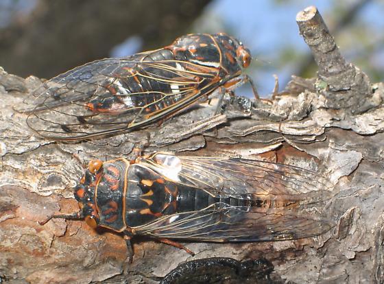 orange-and-black cicadas - Hadoa duryi