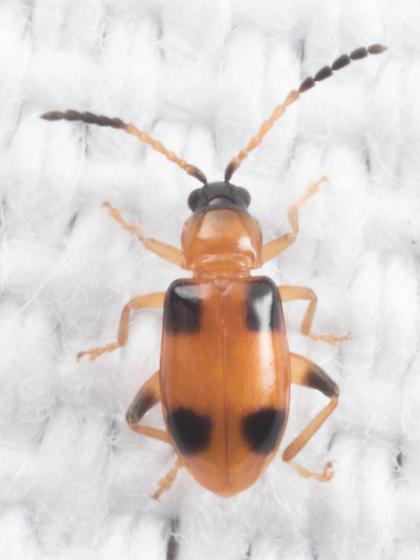 Cornulactica varicornis