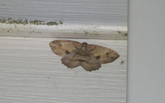 Signate Melanolophia Moth - Melanolophia signataria