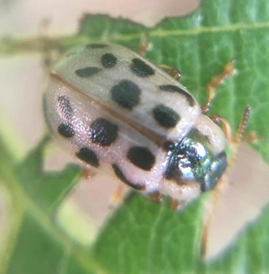 Beetle skeletonizing an alder - Chrysomela