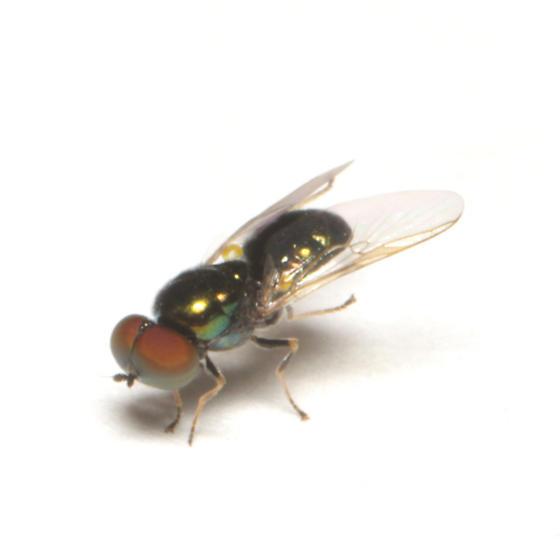 Stratiomyidae, frontal - Microchrysa polita - male