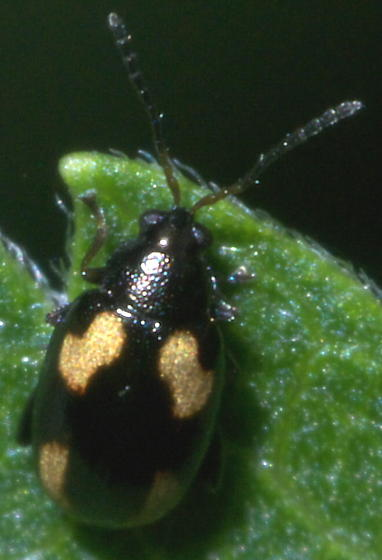 Black Flea Beetle with Four Spots - Phyllotreta striolata