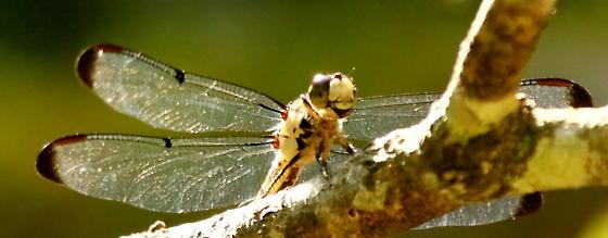 dragonfly - Libellula
