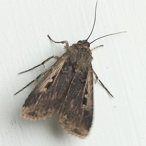 Unknown Moth - Feltia subterranea