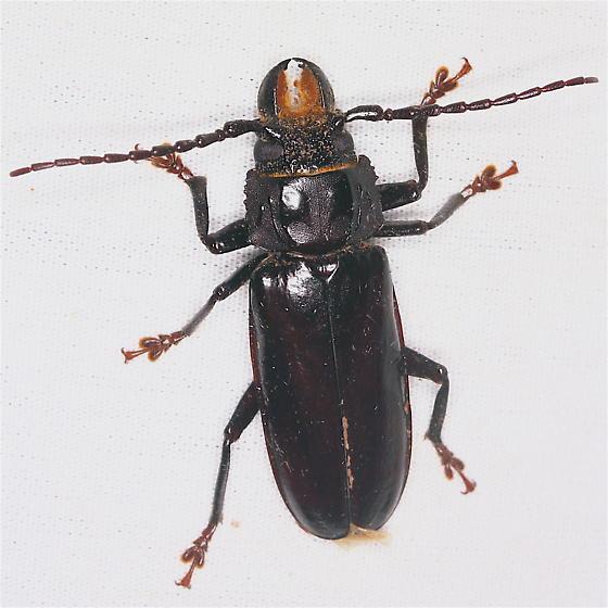 Bycid - Mallodon dasystomus