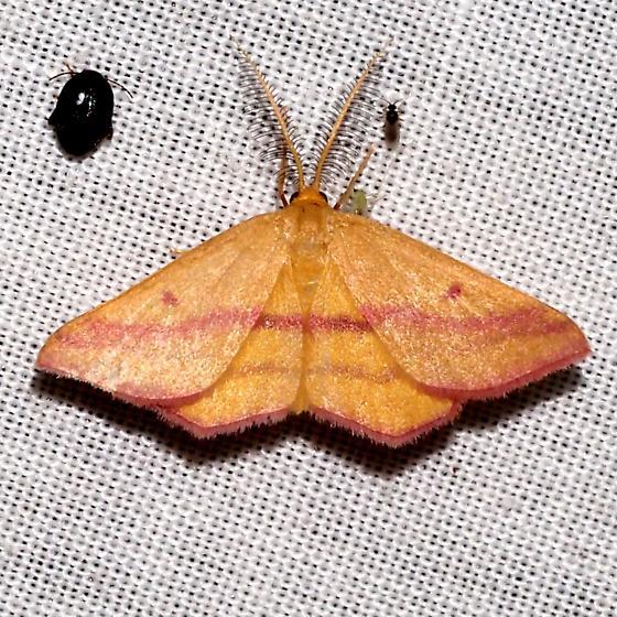 Chickweed Geometer - Hodges#7146 - Haematopis grataria - male