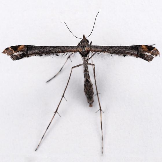 Unknown Pterophorid - Anstenoptilia marmarodactyla