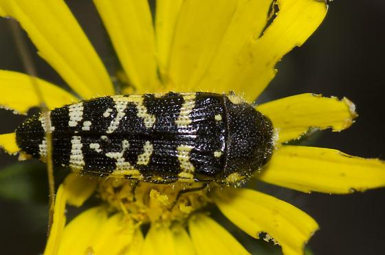 Metallic Wood-boring Beetle - Acmaeodera macra