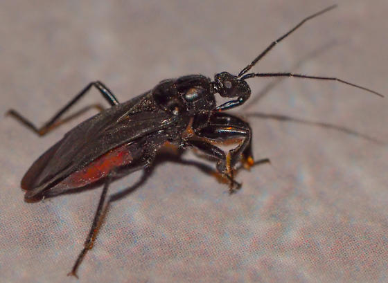 black assassin bug - Melanolestes picipes