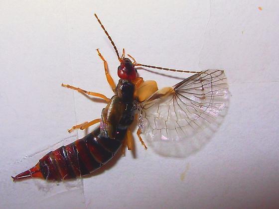 Forficula auricularia - female