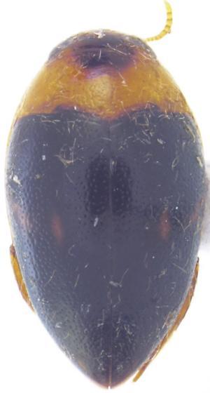 Suphisellus puncticollis