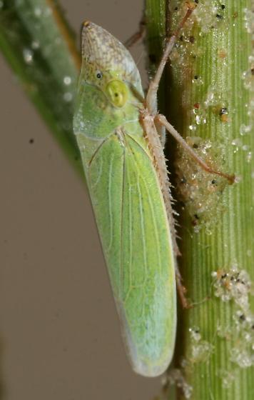 Draeculacephala? - Draeculacephala floridana