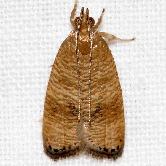Unknown Moth - Psilocorsis cryptolechiella