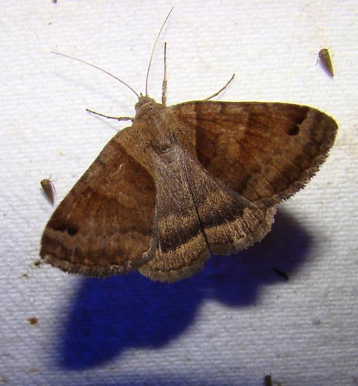 unknown moth - Caenurgina crassiuscula