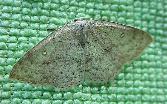 moth 13 - Cyclophora pendulinaria - male