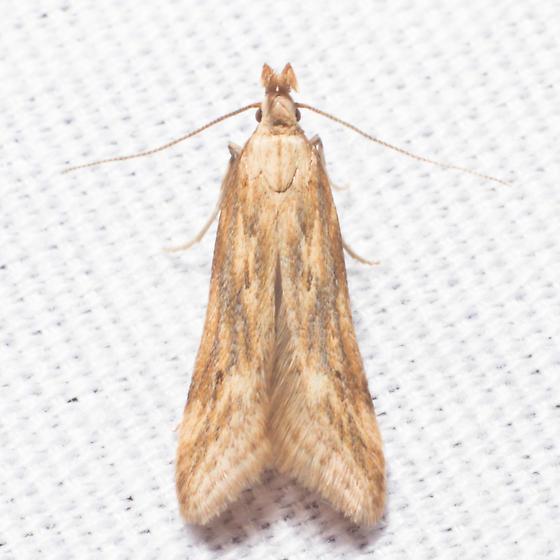 1685 Burdock Seedhead Moth - Metzneria lappella