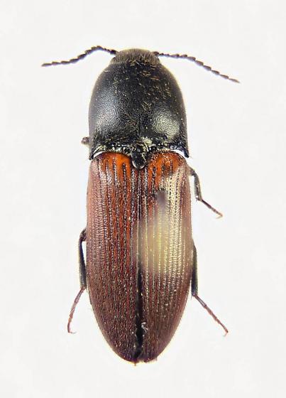 Ampedus? - Ampedus phoenicopterus - female