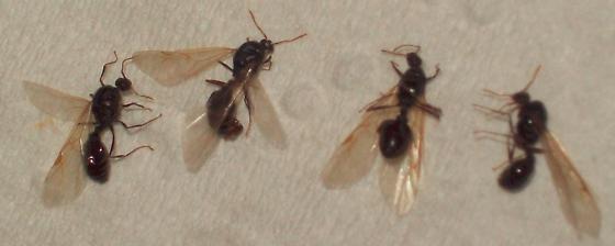 Unidentified Flying Ant in Washington, DC - Tetramorium immigrans