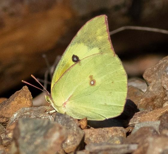 Unknown Butterfly - Zerene cesonia