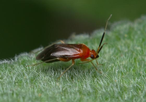 True Bug? - Rhinocapsus rubricans