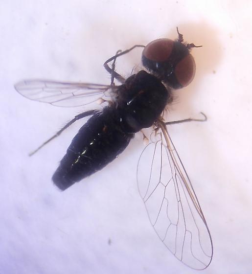 Fly - Aphoebantus