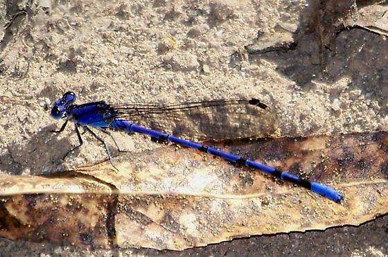 Spine-tipped dancer (Argia extranea) - Argia extranea - male