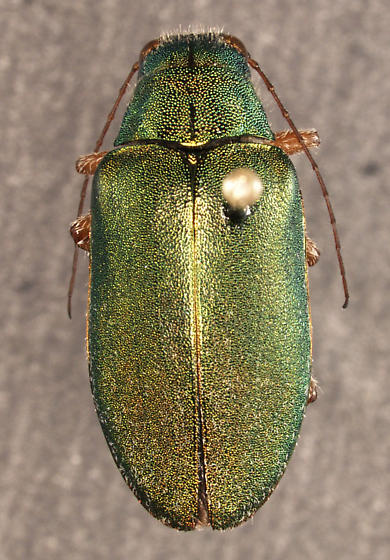 Dystaxia murrayi LeConte 1866 - Dystaxia murrayi - male