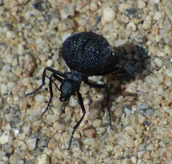 beetle black - Cysteodemus armatus
