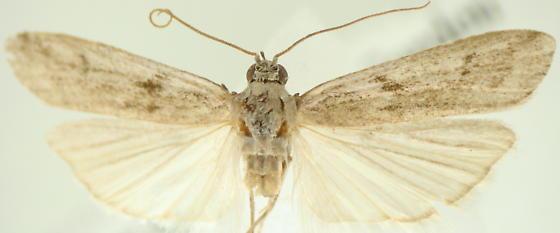 Phycitinae - Phycitodes reliquellum - male
