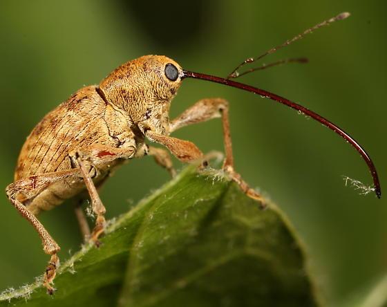 Long-beaked weevil - Curculio