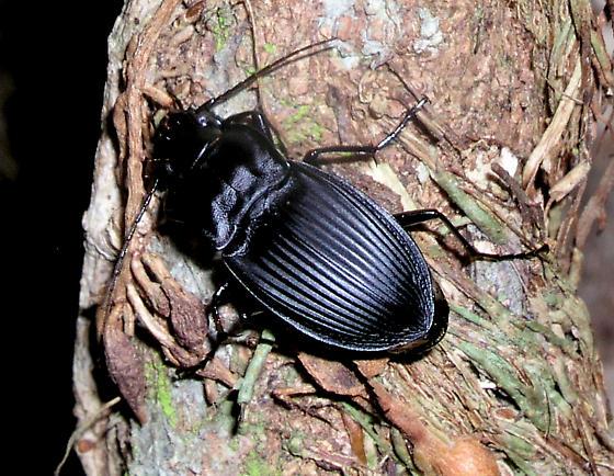 Dicaelus beetle from Tallahassee, Florida, ? species - Dicaelus