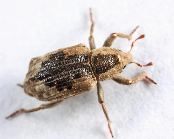 weevil - Lissorhoptrus oryzophilus - female