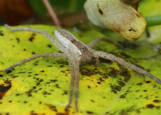 Nursery Web Spider - Pisaurina mira - Pisaurina mira