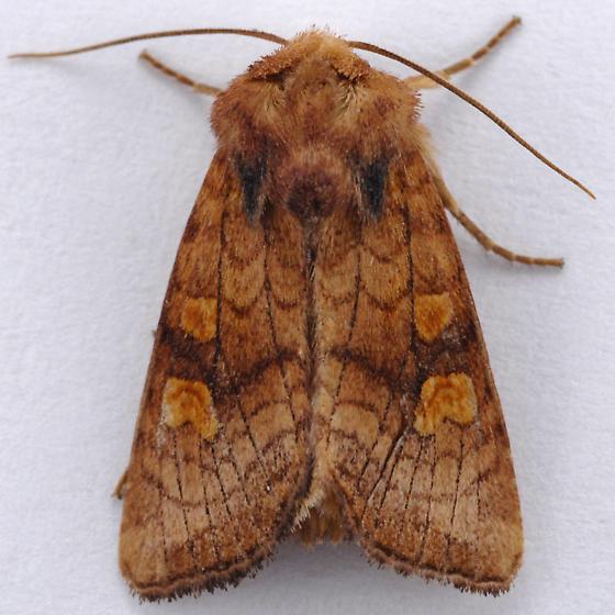 Unknown Noctuid - Amphipoea pacifica