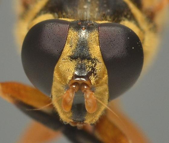 Syrphidae - Temnostoma daochus