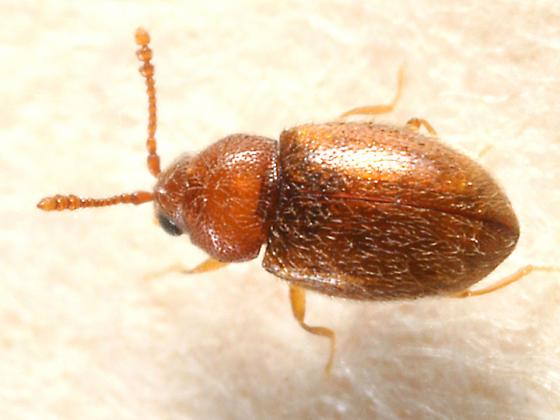 Silken Fungus Beetle - Atomaria lewisi