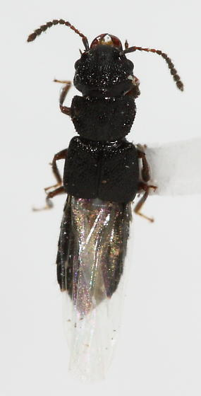 Rove Beetle - Anotylus rugosus