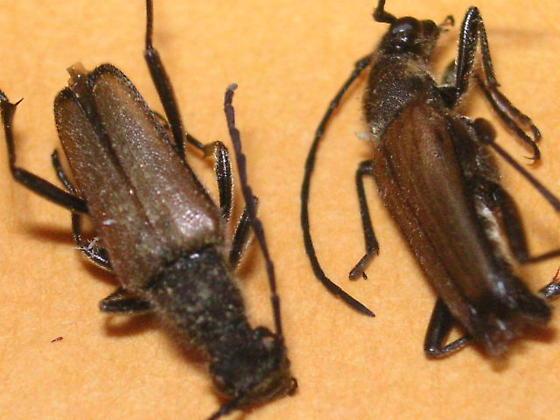 Anastrangalia sanguinea (Cerambycidae) in the Colorado Front Range - Anastrangalia sanguinea - male